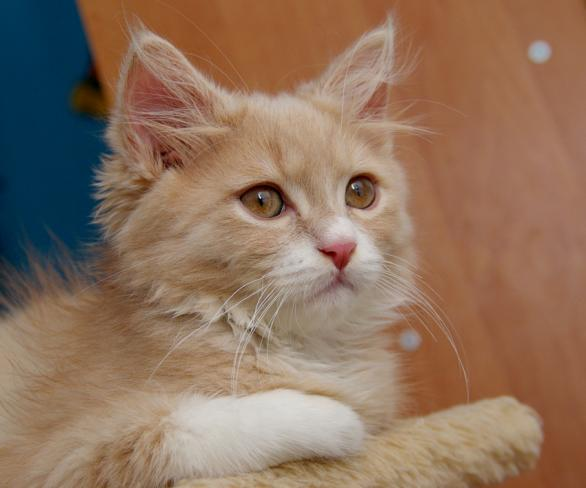 Biało Rudy Kot Koty Kotki I Kocięta