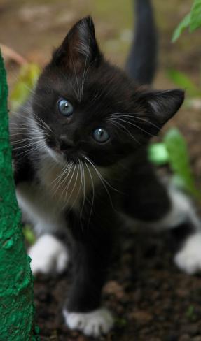 Czarno biały kotek